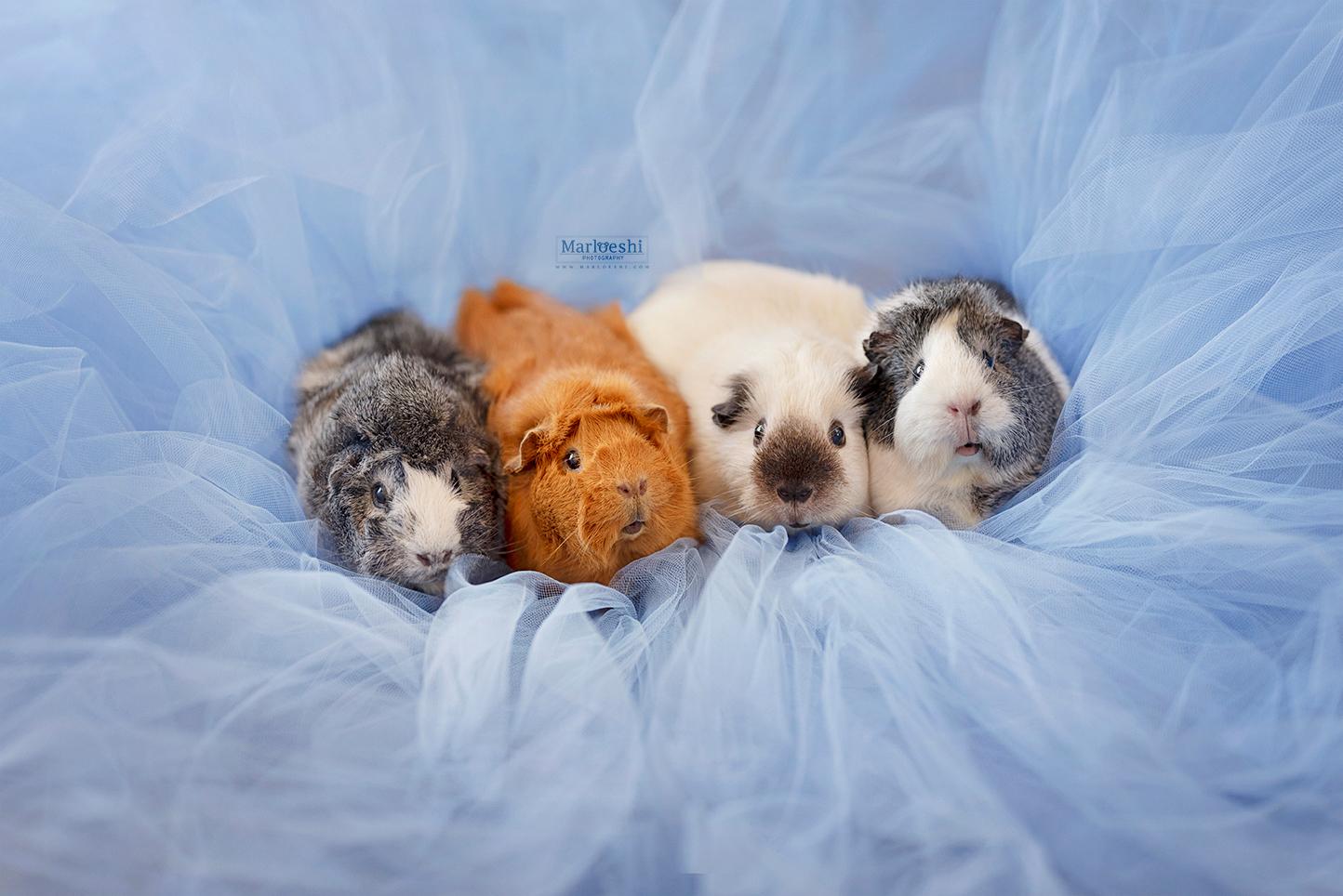 mieps the guinea pig